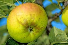 Apple σε ένα δέντρο Στοκ φωτογραφίες με δικαίωμα ελεύθερης χρήσης