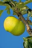 Apple σε ένα δέντρο Στοκ φωτογραφία με δικαίωμα ελεύθερης χρήσης