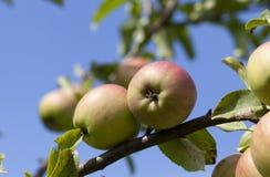 Apple σε ένα δέντρο Στοκ εικόνες με δικαίωμα ελεύθερης χρήσης