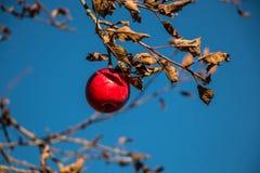 Apple σε ένα δέντρο Στοκ Φωτογραφία