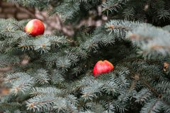 Apple σε ένα κομψό δέντρο Στοκ Εικόνες