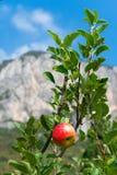 Apple σε εγκαταστάσεις που αυξάνονται στα ιταλικά βουνά Στοκ Φωτογραφίες