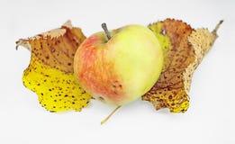 Apple σε δύο φύλλα φθινοπώρου Στοκ Εικόνα