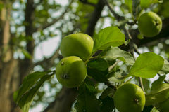 Apple στα δέντρα μηλιάς στον κήπο Στοκ Φωτογραφία