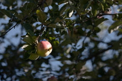 Apple στα δέντρα μηλιάς Στοκ Εικόνα