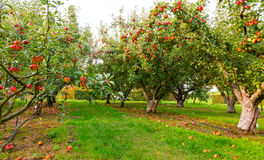 Apple στα δέντρα στον οπωρώνα Στοκ Φωτογραφία