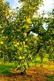 Apple στα δέντρα στον οπωρώνα Στοκ εικόνες με δικαίωμα ελεύθερης χρήσης