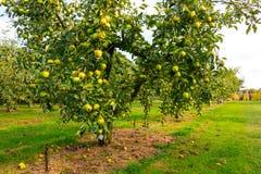 Apple στα δέντρα στον οπωρώνα Στοκ Εικόνα