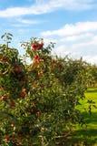 Apple στα δέντρα στον οπωρώνα Στοκ εικόνα με δικαίωμα ελεύθερης χρήσης