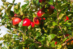 Apple στα δέντρα στον οπωρώνα Στοκ φωτογραφίες με δικαίωμα ελεύθερης χρήσης