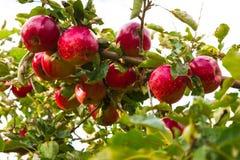 Apple στα δέντρα στον οπωρώνα Στοκ Εικόνες
