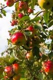 Apple στα δέντρα στον οπωρώνα Στοκ Φωτογραφίες