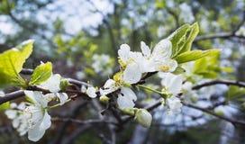Apple στην άνθιση Κλάδος δέντρων με τα άσπρα λουλούδια Στοκ φωτογραφία με δικαίωμα ελεύθερης χρήσης