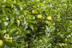Apple στη φυτεία Στοκ φωτογραφία με δικαίωμα ελεύθερης χρήσης