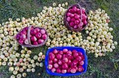 Apple στη χλόη και καλάθια στον κήπο Στοκ Εικόνες