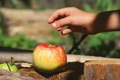 Apple στον κήπο Καλοκαίρι Στοκ εικόνα με δικαίωμα ελεύθερης χρήσης