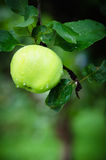 Apple στον κήπο με τις σταγόνες βροχής Στοκ Φωτογραφία