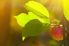 Apple στον κήπο πρωινού Στοκ φωτογραφία με δικαίωμα ελεύθερης χρήσης