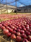 Apple στον κήπο Στοκ φωτογραφία με δικαίωμα ελεύθερης χρήσης
