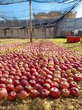 Apple στον κήπο Στοκ φωτογραφίες με δικαίωμα ελεύθερης χρήσης