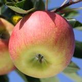 Apple στον κλάδο ενός δέντρου μηλιάς Στοκ Εικόνες
