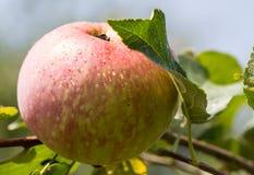 Apple στον κλάδο Στοκ Φωτογραφίες