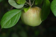 Apple στον κλάδο Στοκ Εικόνα