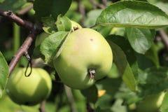 Apple στον κλάδο Στοκ Εικόνες