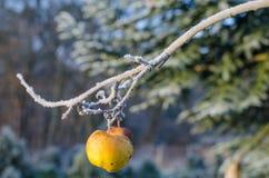Apple στον παγωμένο κλάδο το χειμώνα Στοκ φωτογραφία με δικαίωμα ελεύθερης χρήσης