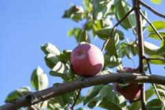 Apple στο δέντρο μηλιάς στην ηλιόλουστη ημέρα Στοκ Εικόνες