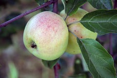 Apple στο δέντρο μηλιάς Στοκ εικόνα με δικαίωμα ελεύθερης χρήσης
