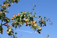Apple στο δέντρο μηλιάς Στοκ Φωτογραφίες