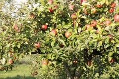 Apple στο δέντρο μηλιάς Στοκ φωτογραφία με δικαίωμα ελεύθερης χρήσης