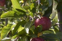 Apple στο δέντρο στενό σε επάνω Στοκ Φωτογραφίες