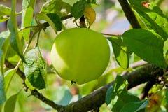 Apple στο δέντρο στον κήπο φρούτων Στοκ φωτογραφία με δικαίωμα ελεύθερης χρήσης