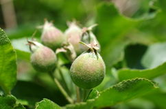Apple στο δέντρο Στοκ Εικόνα