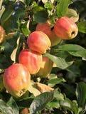 Apple στο δέντρο Στοκ φωτογραφία με δικαίωμα ελεύθερης χρήσης