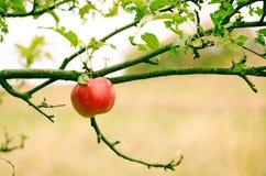 Apple στο δέντρο Στοκ φωτογραφίες με δικαίωμα ελεύθερης χρήσης