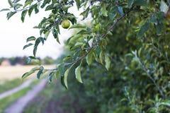 Apple στο δέντρο Στοκ Φωτογραφίες