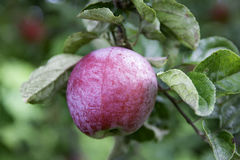 Apple στο δέντρο Στοκ Εικόνες