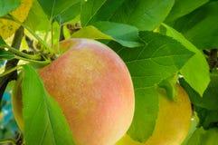 Apple στο δέντρο Στοκ εικόνες με δικαίωμα ελεύθερης χρήσης