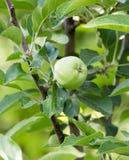 Apple στο δέντρο στη φύση Στοκ εικόνα με δικαίωμα ελεύθερης χρήσης