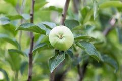 Apple στο δέντρο στη φύση Στοκ φωτογραφία με δικαίωμα ελεύθερης χρήσης