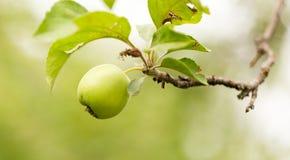 Apple στο δέντρο στη φύση Στοκ Φωτογραφίες