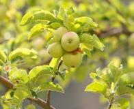 Apple στο δέντρο στη φύση Στοκ Εικόνες
