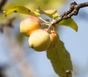 Apple στο δέντρο στη φύση Στοκ Εικόνα
