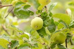 Apple στο δέντρο στη φύση Στοκ Φωτογραφία