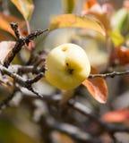 Apple στο δέντρο στη φύση Στοκ φωτογραφίες με δικαίωμα ελεύθερης χρήσης