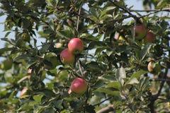 Apple στο δέντρο στον οπωρώνα - φυσική ρωσική επαρχία Στοκ φωτογραφία με δικαίωμα ελεύθερης χρήσης