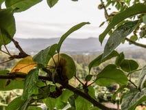 Apple στο δέντρο Στοκ Φωτογραφία